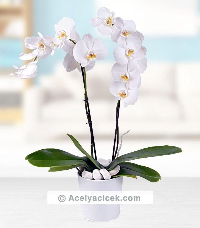 İkili Orkide Çiçeği