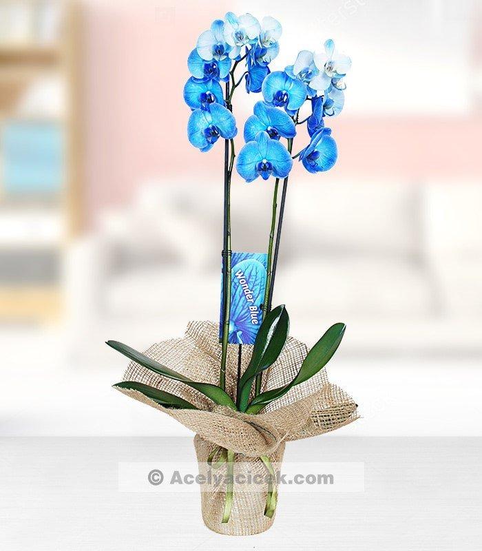 Mavi Orkide Dünyası