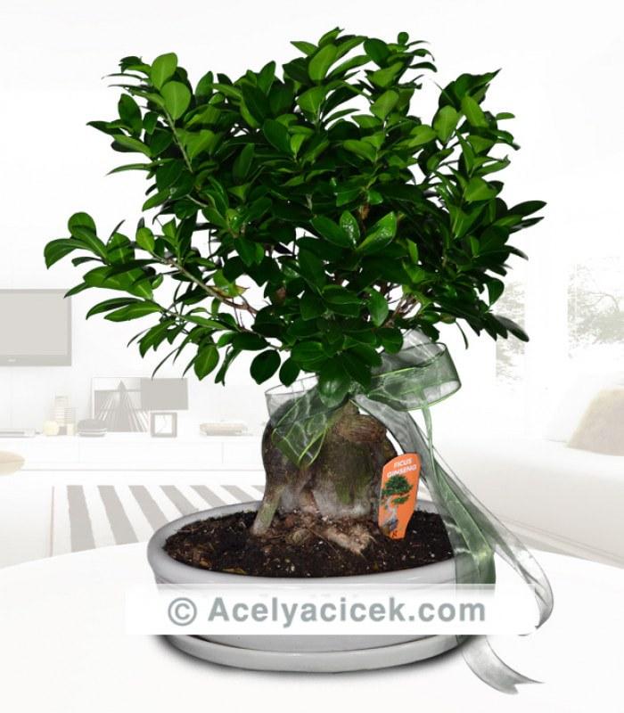 Bonsai Süs Ağacı