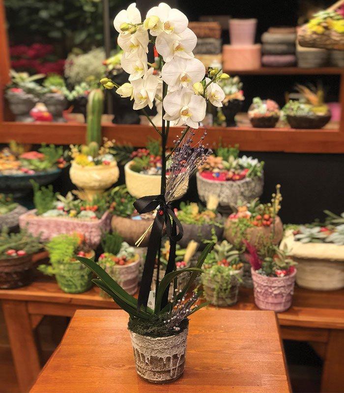 Şans Orkidesi