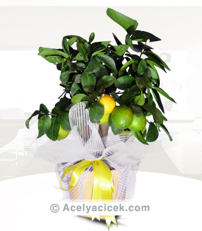 Limon Bitlisi
