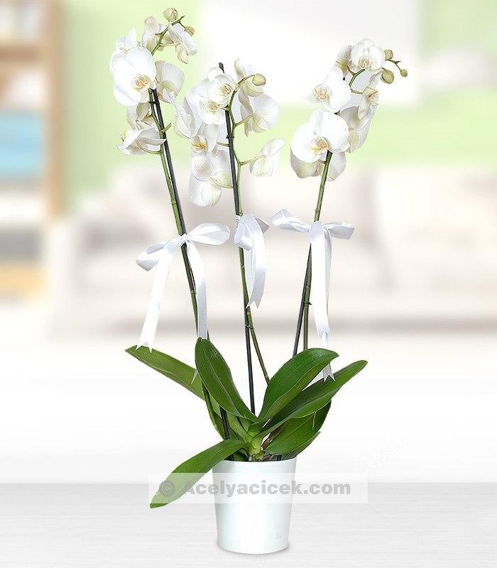 Beyaz Melek Orkide