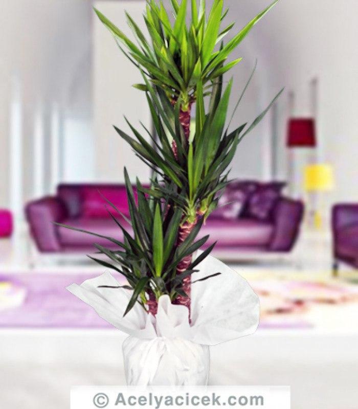 3'lü Yucca Salon Çiçeği