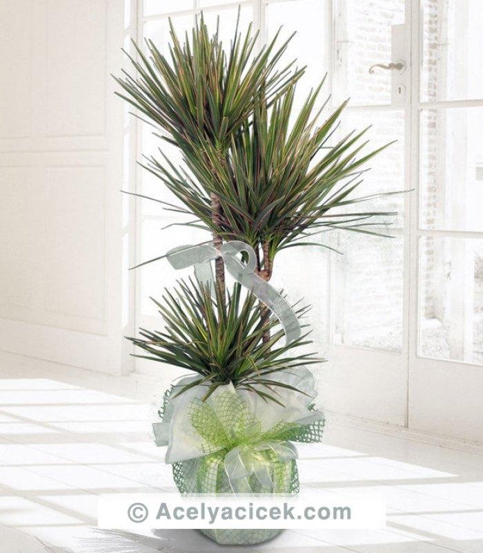 Dracena Salon Çiçeği