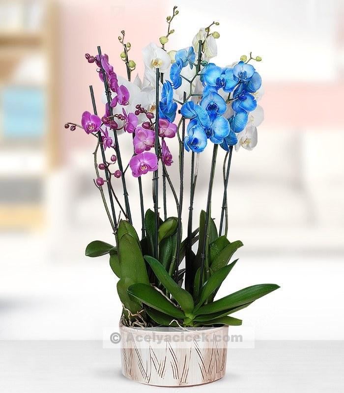 Mavi Mor Beyaz Orkide