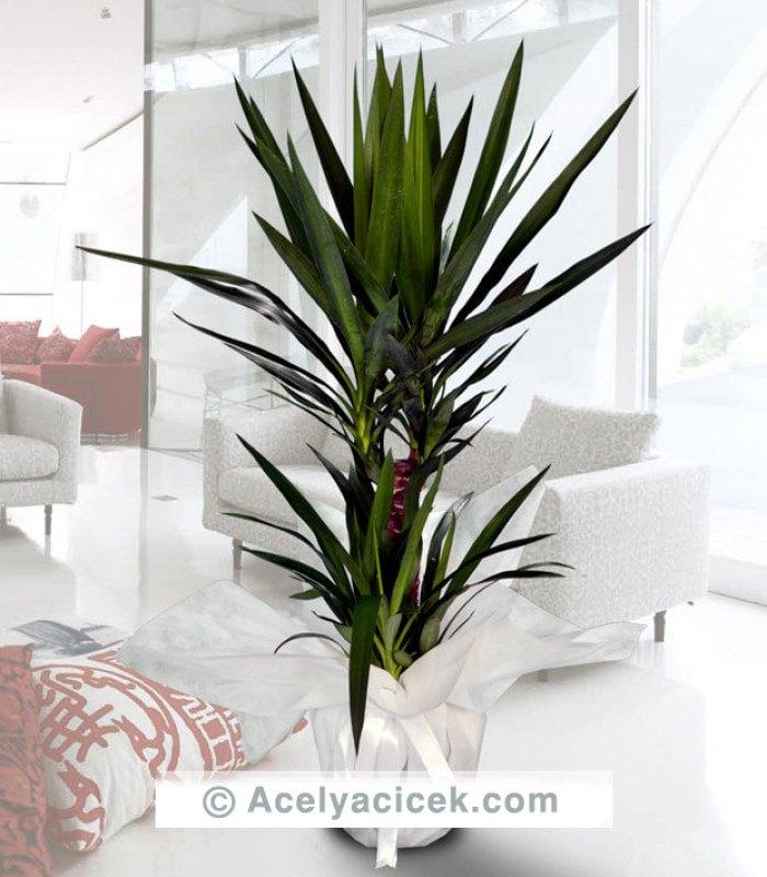 2li Yucca Süs Bitkisi