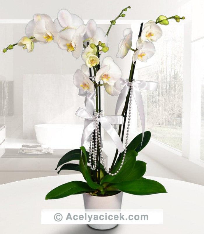 Kraliçe Orkide 3 Dallı