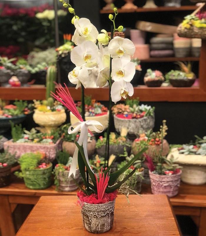 Nadide 2 Dallı Orkide