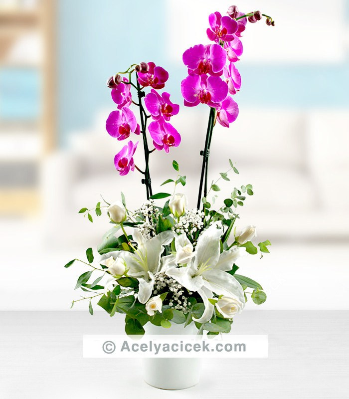 Mor Orkide Mutluğu