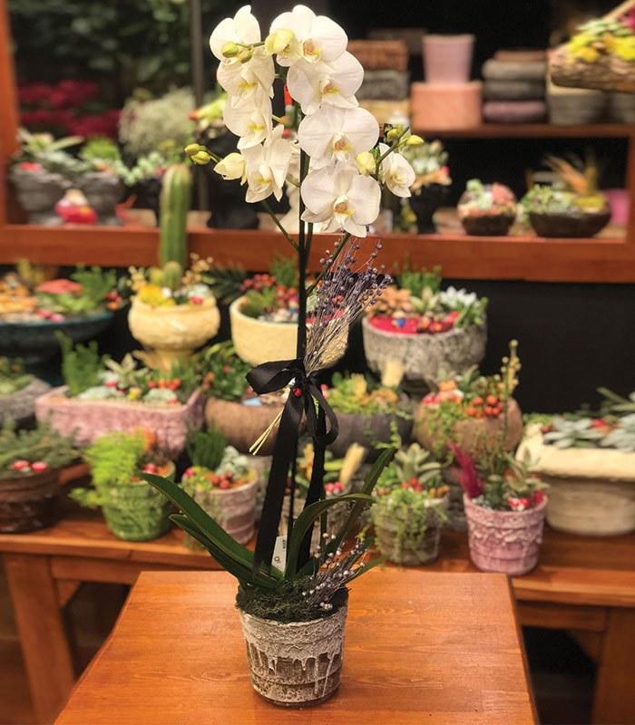 Kraliçe Beyaz Orkide